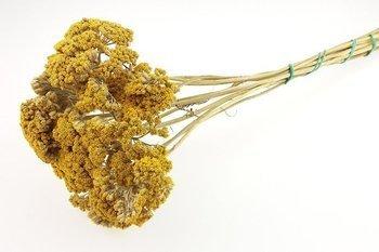 KRWAWNIK WIĄZÓWKOWATY KOLOR ŻÓŁTY (Achillea filipendulina) naturalne kwiaty suszone niebarwiony susz roślinny do dekoracji