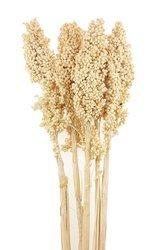 SORGO MILLO KOLOR WYBIELANY 5 szt. Sorghum susz roślinny do dekoracji rośliny na suche bukiety