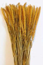 WŁOŚNICA KOLOR ŻÓŁTY (setaria) trawa ozdobna na suche bukiety