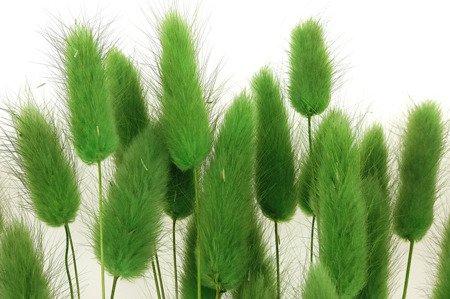 DMUSZEK JAJOWATY KOLOR ZIELONY  (Lagurus ovatus) ozdobna trawa suszona