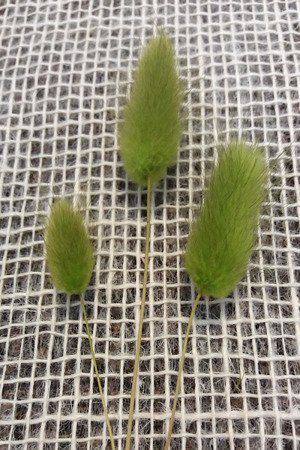 Dmuszek jajowaty  (Lagurus ovatus) kolor jasnozielony