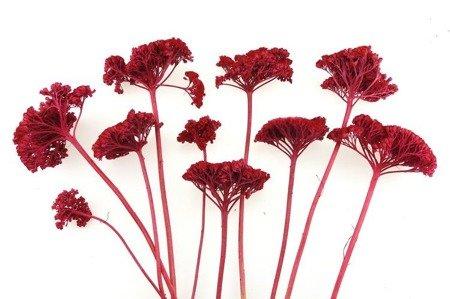 KRWAWNIK KOLOR CZERWONY (Achillea) barwiony susz roślinny do dekoracji