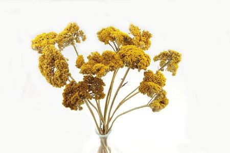 KRWAWNIK KOLOR ŻÓŁTY (Achillea) naturalny niebarwiony susz roślinny do dekoracji