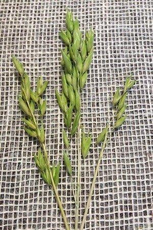 OWIES KOLOR JASNOZIELONY zboże suszone kłosy zbóż