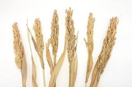 SENEGAL SORGO KOLOR NATURALNY niebarwiony susz roślinny do dekoracji rośliny na suche bukiety