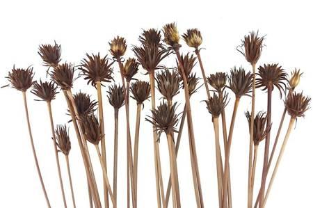 """SUSZ EGZOTYCZNY """"OSTY"""" KOLOR NATURALNY suszone rośliny do dekoracji"""