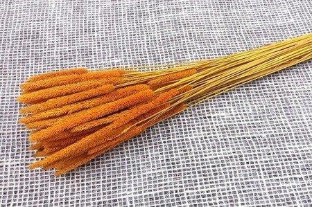 TYMOTKA ŁĄKOWA KOLOR ŻÓŁTOPOMARAŃCZOWY Phleum pratense (brzanka pastewna) ozdobna trawa suszona