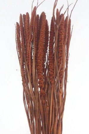 WŁOŚNICA KOLOR BRUDNOPOMARAŃCZOWY (setaria) trawa ozdobna na suche bukiety